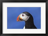 Puffin Bird Colorful Beak Closeup I Framed Print