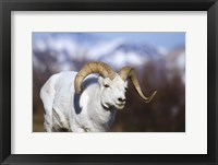 White Ram Brown Horns II Framed Print
