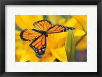 Framed Orange Butterfly Landing
