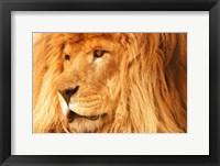 Golden Lion Portrait II Framed Print