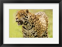 Framed Jaguar Ready