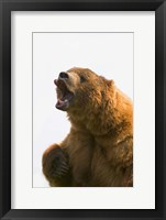 Bear Yawn II Framed Print