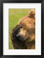 Framed Brown Bear Disbelief