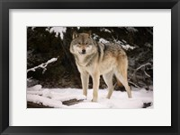 Framed Brown Wolf In Winter