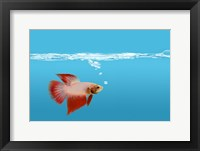 Goldfish Gone Swimming II Framed Print