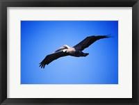 Framed Pelican Flying Blue Sky