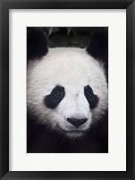 Framed Panda Closeup