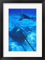 StingRay Blue Sea Dive II Framed Print