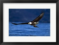 Framed Soaring Eagle Over Blue Sea