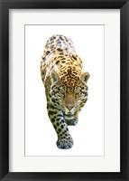 Framed Jaguar On White
