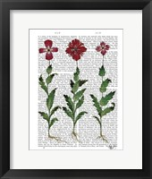 Italian Carnation 1 Framed Print