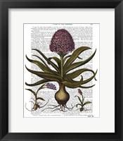 Framed Vintage Hyacinth