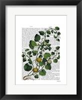 Squash Vine 4 Framed Print