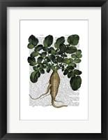Parsnip 1 Framed Print