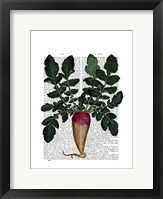 Turnip Framed Print