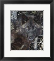 Framed Black Wolf