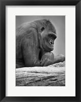 Framed Gorilla Profile II