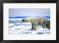 Framed Polar Bear on Ice Float