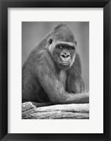 Framed Gorilla Stare