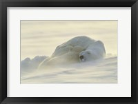 Framed Polar Bear Rolling in the Snow
