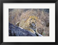 Framed Leopard Resting