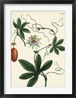Framed Antique Passion Flower III