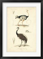 Framed Antique Ostrich Study