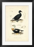 Framed Antique Duck Study I