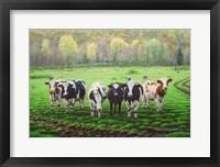 Framed Curious Cows