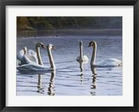 Framed Hanover Swans Five