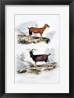 Framed Male and Female Goats