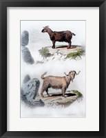 Framed Pair of Goats