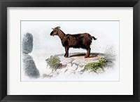 Framed Goat I