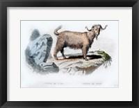 Framed Goat II