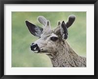 Framed Mule Deer In Velvet