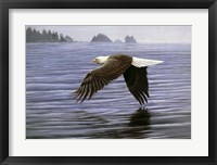 Framed Low Flight Bald Eagle