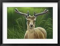 Framed Fallow Buck In Velvet