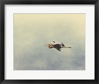 Blue Heron In Flight 2 Framed Print