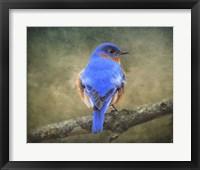 Framed Bluebird Portrait