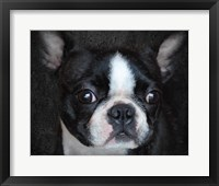 Framed Boston Terrier Portrait