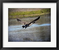 Canadian Goose In Flight 2 Framed Print