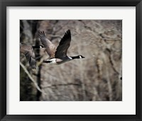 Framed Canadian Goose In Flight 3