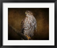 Coopers Hawk Portrait 1 Framed Print