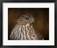 Coopers Hawk Portrait 2 Framed Print