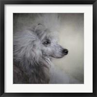 Framed Longing Silver Standard Poodle