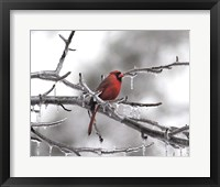 Framed Male Cardinal Braving The Cold