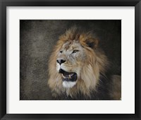 Male Lion Portrait 2 Framed Print