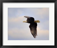 Pinson Mounds Eagle 2 Framed Print