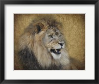 Snarling Male Lion Portrait Framed Print
