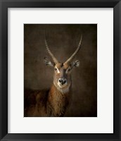 Framed Waterbuck Antelope